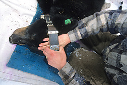 Checking Collar Fit On Black Bear #5