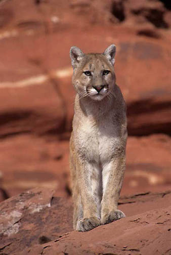 Mountain Lion or Cougar, (Felis concolor) Portrait of adult Moab, Utah. Red rock country.  Captive Animal.