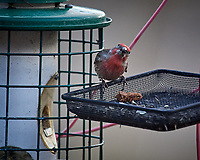 House Finch. Image taken with a Nikon D5 camera and 600 mm f/4 VRII lens