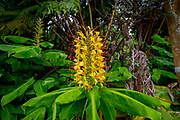 Kahili Ginger, Flower, Hawaii Volcanoes National Park, Island of Hawaii, Hawaii