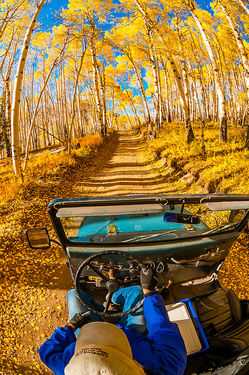 Driving through an aspen grove in autumn color on Last Dollar Road between Ridgway and Telluride, Colorado USA.