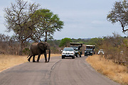 African elephant crossing the road in Kruger National Park, South Africa.