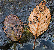 Two decaying leaves lay on a rock in the Collawah River in the Mt Hood National Forest, Oregon