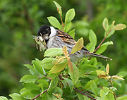 A male reed bunting (Emberiza schoeniclus) with a beak full of insects perches in willow scrub on its way back to its nest to feed its young. Rye Harbour Nature Reserve. Rye, Sussex, UK