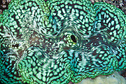 Fluted Giant clam (Tridacna squamosa) - Agincourt reef, Great Barrier Reef, Queensland, Australia. <br /> <br /> Editions:- Open Edition Print / Stock Image