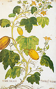Hand drawn ancient Botanical illustration of a Cucurbita pepo (Vegetable marrow) vine. Published c 1550
