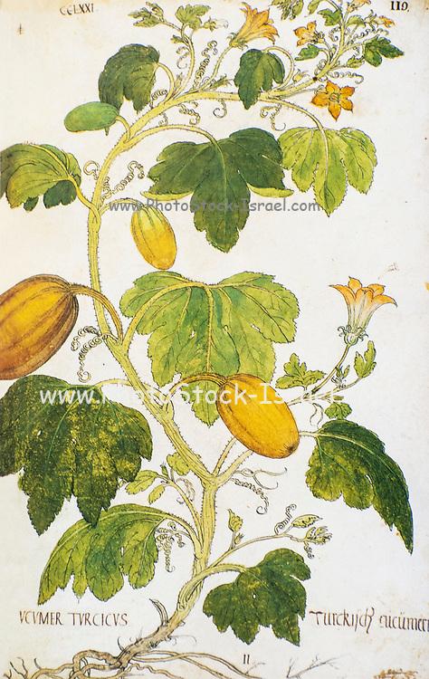 Hand drawn ancient Botanical illustration of a Cucurbita pepo (Vegetable marrow) vine. Published c 1550