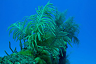 Slimy Sea Plume on aft rail, Doc Paulson, Grand Cayman