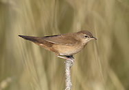 Savi's Warbler - Locustella luscinioides