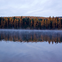 Every Fall the Tamaracks in Montana turn a beautiful gold color. The Tamarack, also called Larch, is a conifer that changes color and looses it's needles.