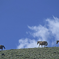 Wild Horses graze in the lonely eastern foothills of Nevada's White Mountains.