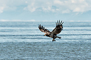 A juvenile bald eagle takes off carrying fish scraps on the beach at Anchor Point, Alaska.