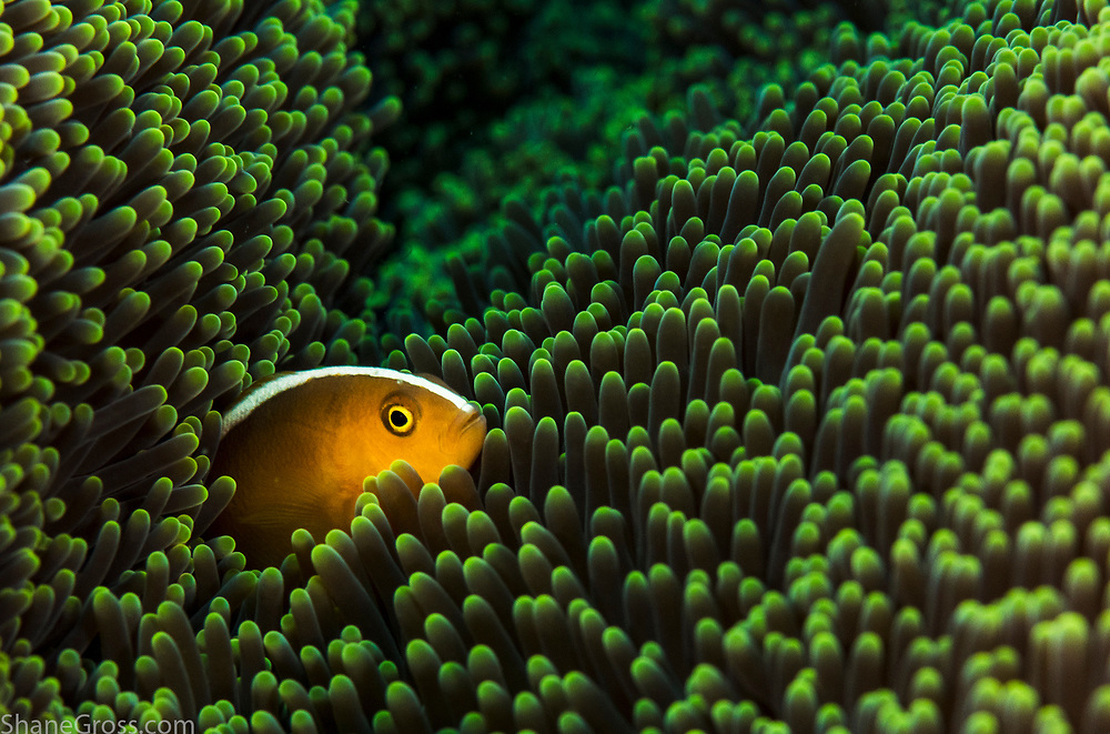 Yellow clownfish (Amphiprion sandaracinos) in green sea anemone