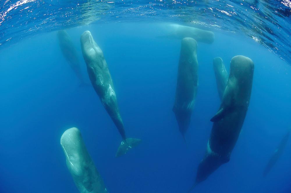 Sperm whale, Physeter macrocephalus<br /> Pico, Azores, Portugal