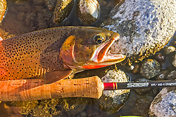 Catch of the Day, a nice cutthroat trout unwillingly poses before his release back into the Snake River in Swan Valley Idaho.