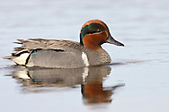 Green-winged Teal - Anas carolinensis - male