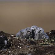 Snowy Owl (Nyctea scandiaca) chicks on nest in Barrow,  Alaska.