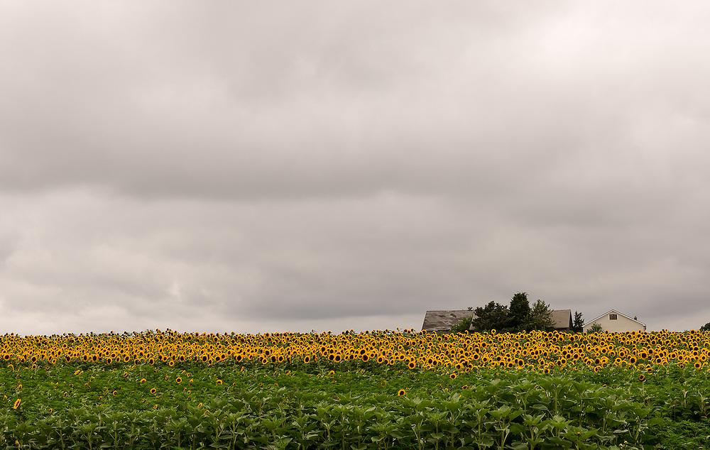 """Partly Sunny""<br /> Sunflower Field<br /> Riverhead, Long Island"