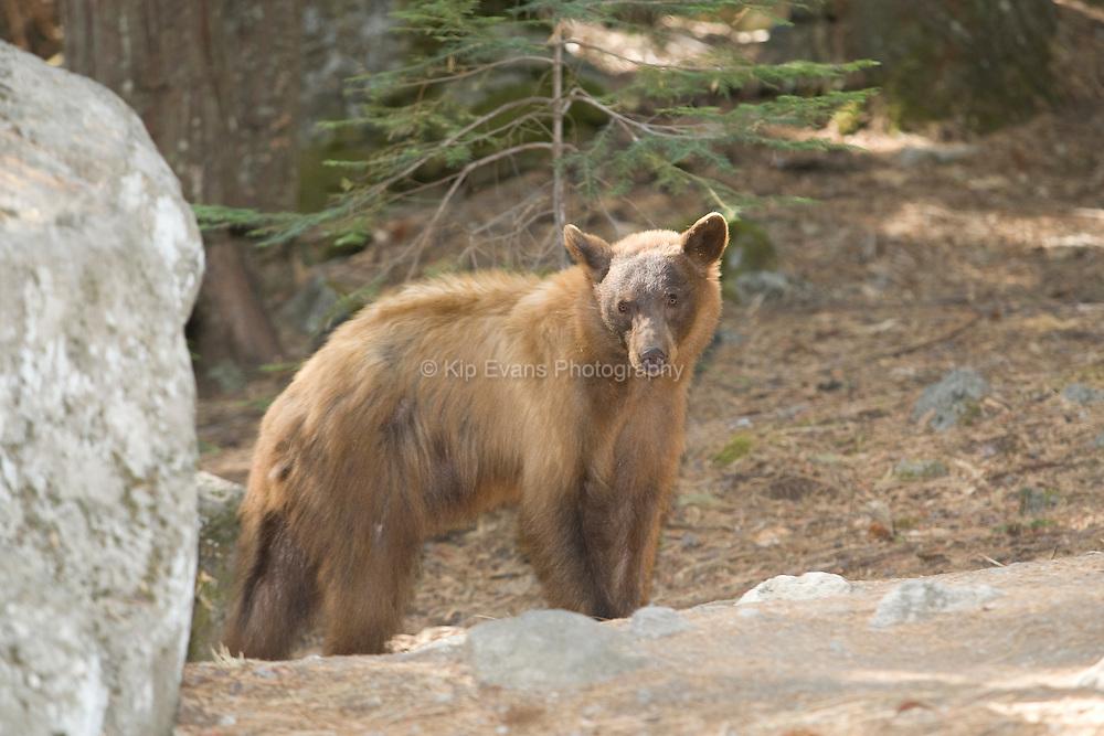 Black Bear (Ursus americanus) out looking for food