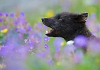Arctic fox (Alopex lagopus) in a wild flower meadow, barking<br /> Hornstrandir, Iceland