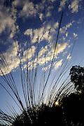 leaves of Western Australia Grass Tree (Xanthorrhoea preissii), or Balga, silhouetted against setting sun. Perth, Western Austraia