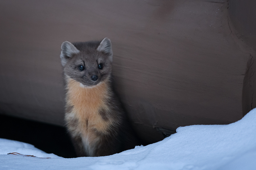 A Pine marten that lives beneath a cabin in Yellowstone.