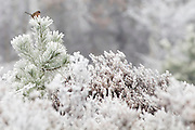 Dartford warbler (Sylvia undata) atop a pine tree covered in hoar frost on the heath. Chobham Common, Surrey, UK.