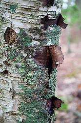 Bark Detail, Upper Negro Island, Maine, US