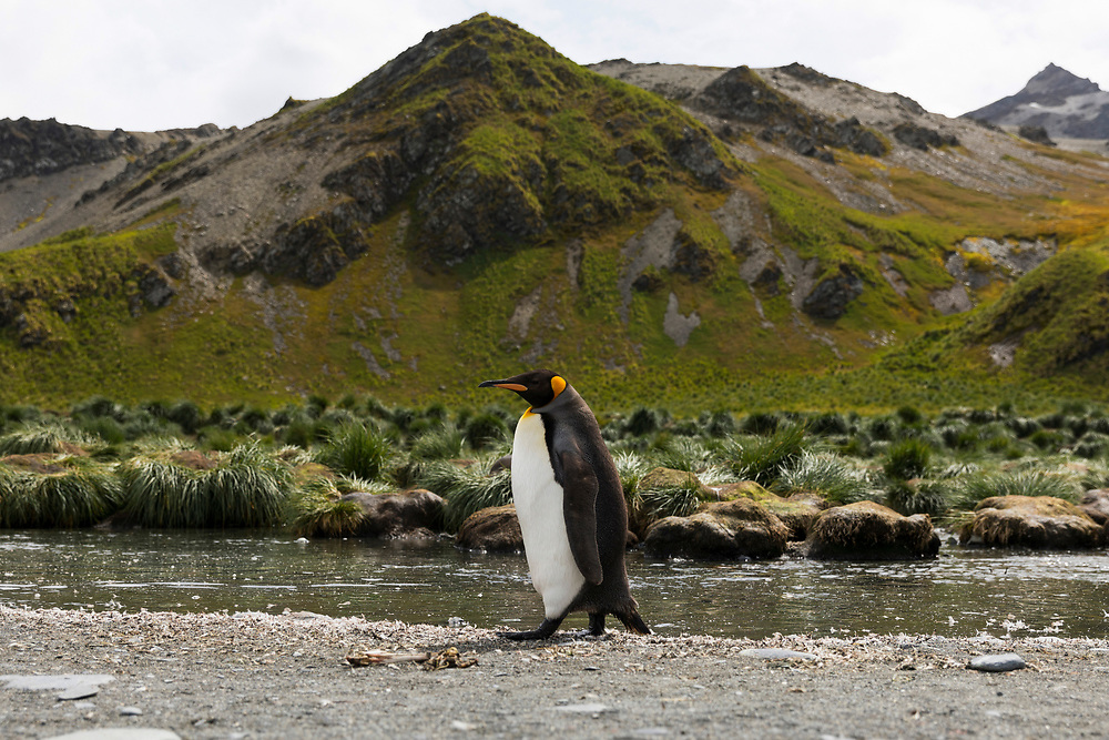 King penguin waddles on Thursday, Feb. 1, 2018 in Gold Harbor, South Georgia. (Photo by Ric Tapia)