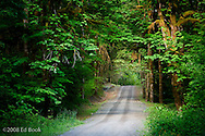 A canopy of Bigleaf Maples shades a forest service road in the Duckabush River valley temperate rain forest of the Olympic National Forest, Washington, USA.