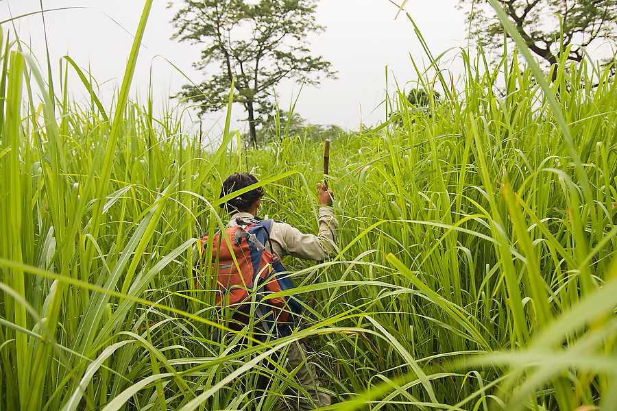 A wildlife guide navigates through high grasses looking for wildlife in Royal Chitwan National Park, Terai, Nepal.