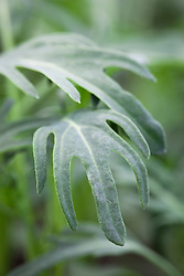 Kale 'Jagalo Nero'. Baby salad leaves