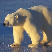 Polar Bear (Ursus maritimus) on the frozen ice of Hudson Bay, Canada.