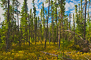 Black spruce trees and labrador tea in the Boreal forest <br />