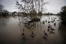 © Licensed to London News Pictures. 03/02/2021. Egham Hythe, UK. Geese and swans sit next to a park bench at Egham Hythe in Surrey where the River Thames has broken it's banks. Large parts of the UK experience more wet conditions which is expected to bring further flooding. Photo credit: Ben Cawthra/LNP