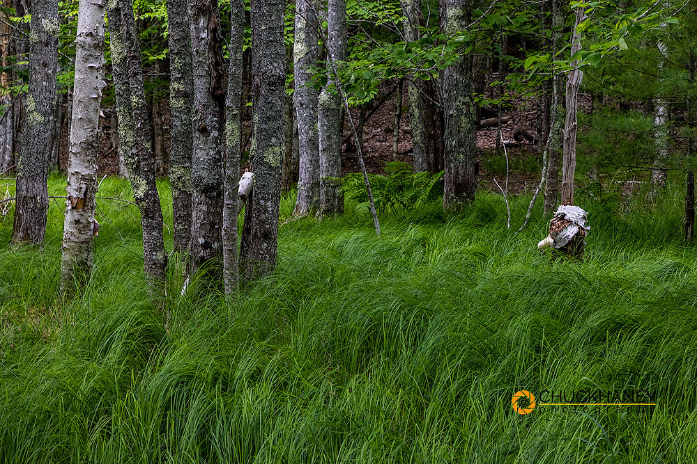 White Birch trees in grassy forest along the Jesup Trail in Acadia National Park, Maine, USA