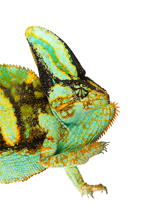 Studio portrait of a male Veiled Chameleon (Chamaeleo calyptratus) against a white background.