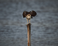 Osprey perched on a post.  Biolab Road, Merritt Island National Wildlife Refuge. Image taken with a Nikon D4 camera and 600 mm f/4 VR lens (ISO 220, 600 mm, f/5.6, 1/1250 sec).