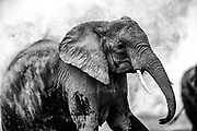 An elephant  (Loxodonta africana) dramatically dusting its body for sun and insect protection, black and white ,Amboseli, Kenya, Africa