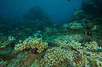 Reef with some coral bleaching.<br /><br />Coiba Island<br />Coiba National Park<br />Panama<br /><br />Mona Lisa dive site
