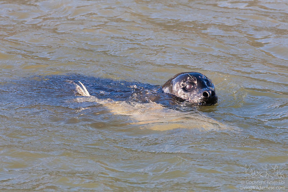 A common harbour seal (Phoca vitulina) catches a salmon in the Squamish River near Brackendale, British Columbia, Canada.