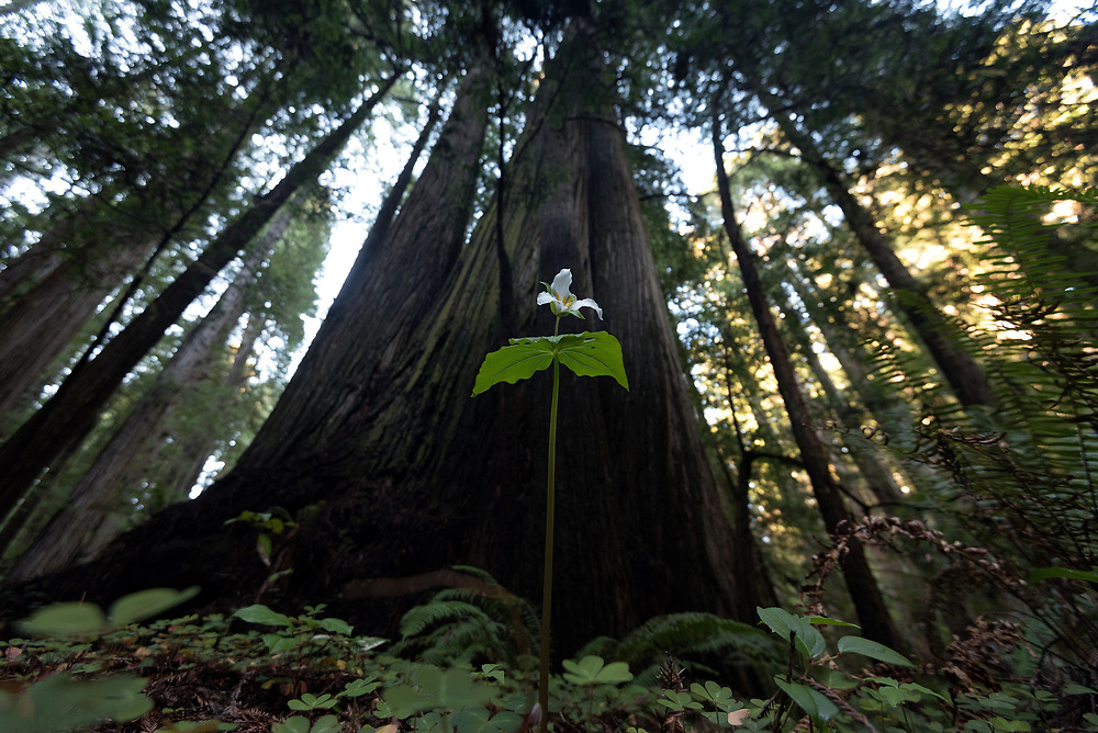 Western Trillium stands tall amidst the giants. Prairie Creek Redwoods State Park, California