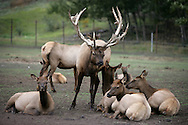 11th September 2008, Wasilla, Alaska. A male Elk surrounded by females near the home of US Republican Vice Presidential pick Sarah Palin in Alaska. PHOTO © JOHN CHAPPLE / REBEL IMAGES.tel: +1-310-570-910