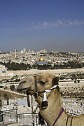 A camel used by tourists in front of a view of the Old City as seen from the Mount of Olives, Jerusalem, Israel