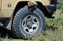A baby Cheetah is seen over the BFGoodrich tire of the specialized safari car in Ndutu area of Southern Serengeti National Park in Arusha Region, Tanzania, on August 25, 2019. Photo by Emy/ABACAPRESS.COM