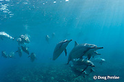 Hawaiian spinner dolphins or Gray's spinner dolphin, Stenella longirostris longirostris, Kona, Hawaii ( the Big Island ), USA Central North Pacific Ocean