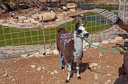 A Llama used for children's ride at the Alpaca Farm, Mitzpe Ramon, Israel