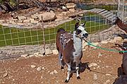 A Llama used for children's ride at the Alpaca Farm, Mitzpe Ramon, Israel