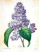 19th-century hand painted Engraving illustration of a Lilac (Lilas) (Syringa vulgaris) (flower, by Pierre-Joseph Redoute. Published in Choix Des Plus Belles Fleurs, Paris (1827). by Redouté, Pierre Joseph, 1759-1840.; Chapuis, Jean Baptiste.; Ernest Panckoucke.; Langois, Dr.; Bessin, R.; Victor, fl. ca. 1820-1850.