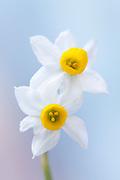Narcissus 'Canaliculatus' - tazetta daffodil